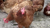 Two videos of free range chickens-real 1080p slow motion 250fps video