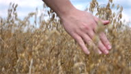 Two videos of hand caressing oat in field-slow motion video