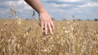 Two videos of hand caressing oat in the field-slow motion video