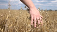 Two videos of hand caressing oat in the field in real slow motion video