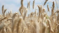 Two videos of hand wheat field in 4K-professional electronic slider video