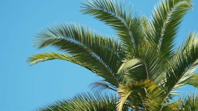 Two videos of palm tree in 4K video