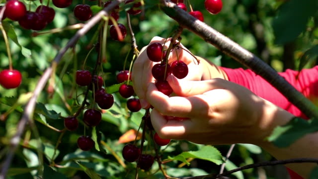 Two videos of picking cherry fruits in real slow motion video