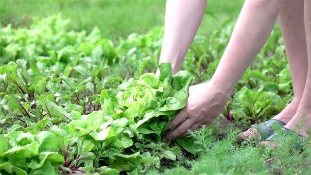 Two videos of picking lettuce in real slow motion video