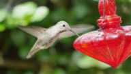 Two videos of real humming bird in 4K video