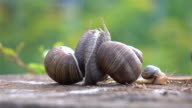 Two videos of snails love in 4K video