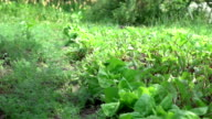 Two videos of watering vegetable garden in real slow motion video