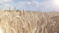 Two videos of wheat field in 4K-professional electronic slider video