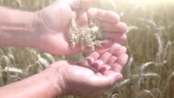 Two videos of wheat grains in the hands in the field in real slow motion video