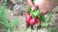 Two videos of woman picking radish in real slow motion video