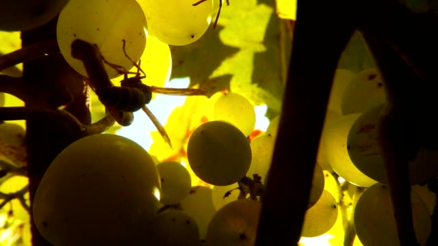 Two Wasps Climb in Big Green Grapes and Leaves Close Up video