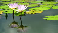 Two Waterlily video