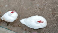 Two white duck with a red beak sitting on the ground video