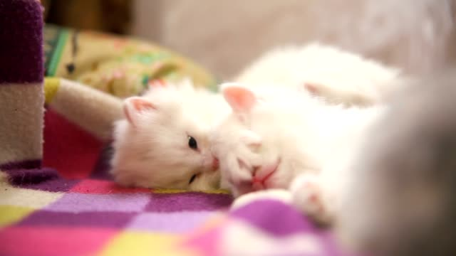 two white kitten playing sleeps bite each other one video