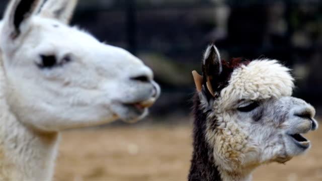 Two white Llamas munching something on their mouth video