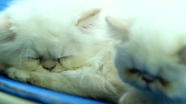 Two white Persian cats sleeping video