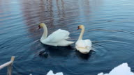 Two white swans near snow covered riverbank. Swans couple in winter lake video