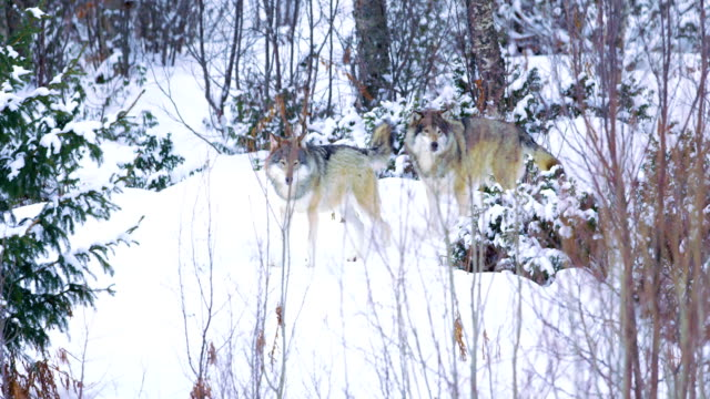 Two wolves walks in winter forest video