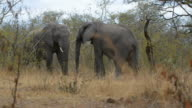 Two young african Elephants fighting in the bush video