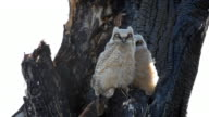 two young owls in a tree video