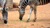 two zebra eat video