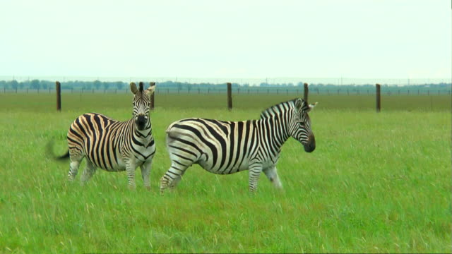 Two zebras on the prairie on a green grass video