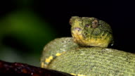 Two-striped forest pitviper (Bothriopsis bilineata) video