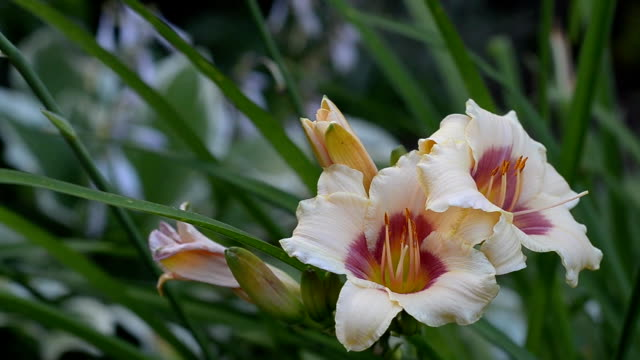 Two-tone blooming daylilies video