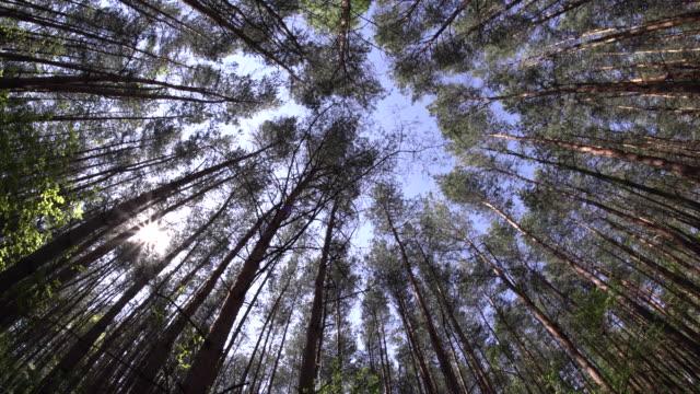 typical german pine tree forest with very high trees growing towards the sky video