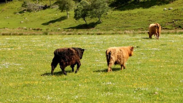 Typical Scottish cows in a field video