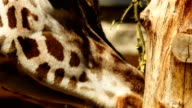 Ultra closeup head shot of two giraffes eating vegetation from a tree video