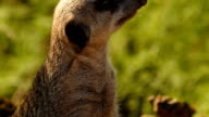 Ultra closeup of a cute meerkat against a background of green foliage video