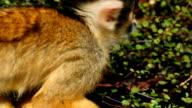 Ultra closeup shot of a black-capped squirrel monkey against green vegetation video
