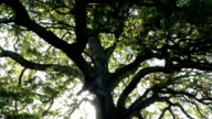 Under On Old Ancient Oak Tree video