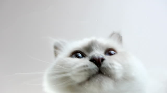 underneath view of white Birman cat drinking water video