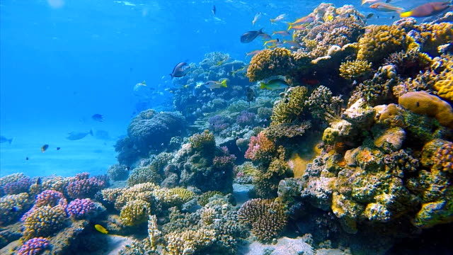 Undersea coral reef with lot of fish on Red Sea video