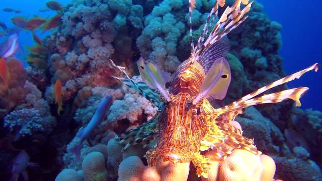 Underwater Close-Up Lion-Fish video