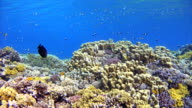 Underwater coral reef sea life with lot of fisch video