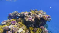 Underwater Coral reef with lot of tropical Fish / Red Sea video