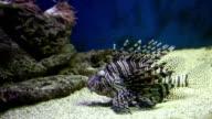 Underwater exotic fish video