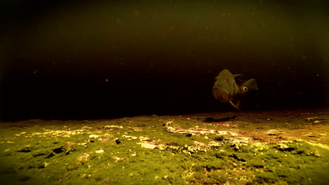 Underwater freshwater Bass swimming in Rio Negro Venezuela video