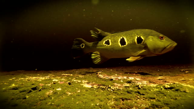 Underwater freshwater Bass swimming in Rio Negro Venezuela video