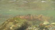 Underwater HD video spawning cutthroat trout Yellowstone National Park video