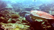 Underwater image of a wild Hawksbill Sea Turtle (Eretmochelys imbricate) swimming.  Listed as Critically Endangered (facing an extremely high risk of extinction in the wild in the immediate future). These animals are extremely rare. video