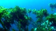 Underwater kelp swaying in the surge video