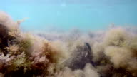 Underwater life in the shallow waters of Black sea camouflaged Goby fish video