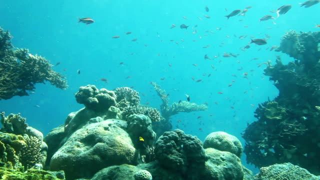 Underwater life of coral reef. Red Sea video
