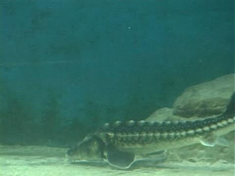 underwater life sturgeon video