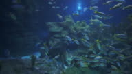 Underwater life: yellow tail fishes swimming in a coral garden video