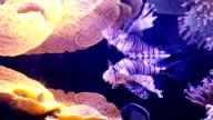 Underwater Lion Fish. video